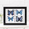 Butterflies Morphidae